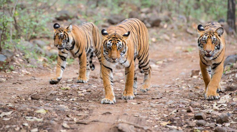 Spot the Bengal Tiger i
